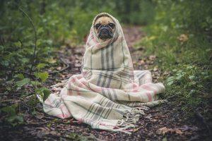 パグと毛布