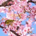 伊豆「河津桜まつり」の見ごろとイベント詳細。おすすめポイント!