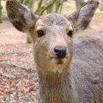 若草山の山焼き 選りすぐりのスポットを紹介! 鹿は大丈夫?