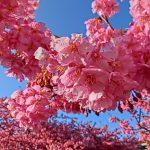 三浦海岸の河津桜!見ごろとお祭りは?楽しみ方とアクセス徹底調査