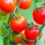 プランターで家庭菜園!初心者でもできるおいしいミニトマトの育て方