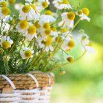 カモミールの育て方と種まきについて。春と秋どっちがいいの?