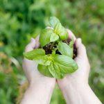 バジルの育て方。苗から初める簡単栽培!越冬はどうするの?