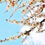 湯島天神の梅まつり!2017年の見ごろや開花状況は?