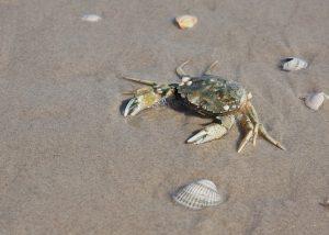 砂浜 カニ