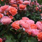 「国際バラとガーデニングショウ」前売りやクーポンでお得に!