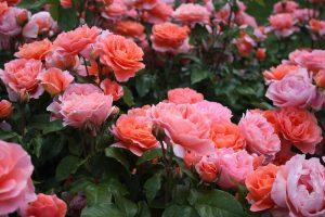 バラ園 ピンク